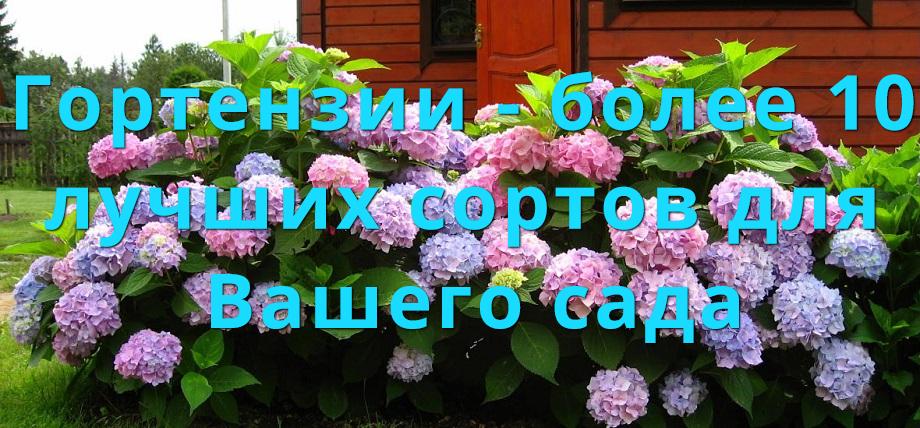 Гортензии! Интернет-магазин Мой Сад