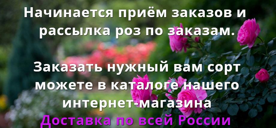 Розы mygardenia.ru - мой сад
