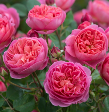 Роза Боскобель | Boscobel (английские)(осень 2019 г.)