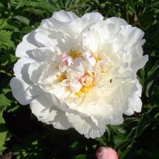 Пион Гардения | Gardenia (травянистые)