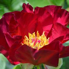 Пион Скарлет Хевен | Scarlet Heaven (ИТО ) ( осень 2020 г.)