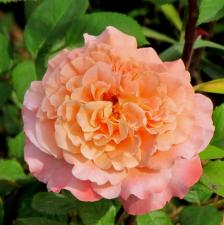 Роза Августа Луиза | Auguste Luise (Чайно-гибридная) ( осень 2021 г.)