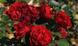 Роза Оммаж э Барбара | Hommage a Barbara (Чайно-гибридная) (Осень 2021г.)