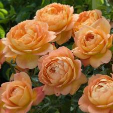 Роза Леди оф Шалотт | Lady of Shalott  (Английская) (осень 2021г)