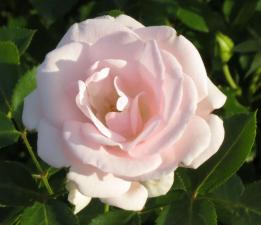 Роза Аспирин | Aspirin (Флорибунда) (осень 2020г.)