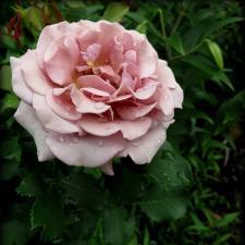 Роза Коко Локо | Koko Loko (Флорибунда)