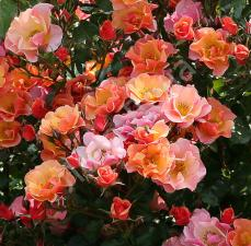 Роза Джаз | Jazz  (Почвопокровная)