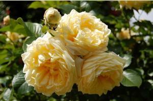 Роза Надя | Nadia (Почвопокровная)