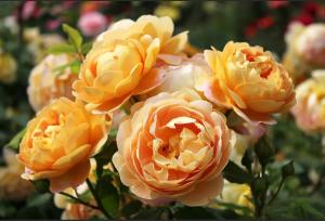 Роза Голден Селебрейшн | Golden Celebration (Английская)(осень 2020 г)