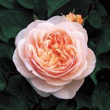 Роза Джульетта | Juliet (Английская) ( Весна 2021 г)