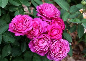 Роза Хайди Клум | Heidi Klum (Миниатюрная )