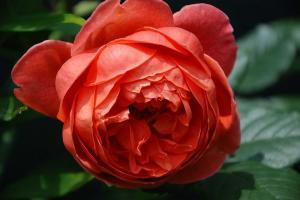 Роза Саммер Сонг | Summer Song (Английская) (осень 2020 г.)
