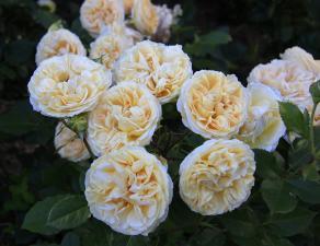 Роза Комтесса | Comtessa (Чайно-гибридная)