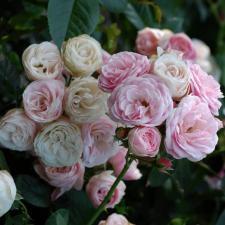 Роза Букет Парфе | Bouquet Parfait (Мускусные)(Осень 2021 г)