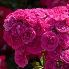 Роза Динки | Dinky (Мускусные) (осень 2020 г)
