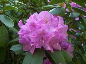 "Рододендрон ""Английский розовый"" (контейнер 7-10 л)"