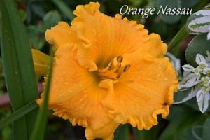 Лилейник Оранж Нассау | Orange Nassau