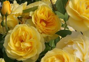 Роза Карт Де Ор | Carte d'Or (флорибунда)