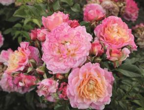 Роза Кантри Гёрл | Country Girl (Флорибунда)
