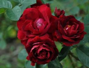 Роза Маликорн | Malicorn (Флорибунда) (осень 2021 г.)
