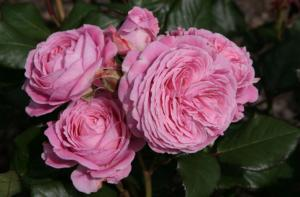 Роза Графиня Мари Генриетта | Rosengrafin Marie Henriett (Флорибунда)(Осень 2021 г.)
