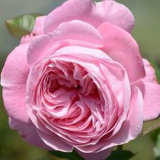 Роза Графиня Мари Генриетта | Rosengrafin Marie Henriett (Флорибунда)