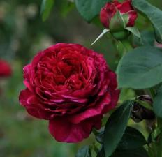 Роза Ля Роз де Катрэ Вен | La Rose des 4 Vents (флорибунда)