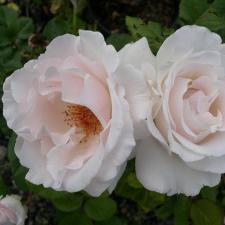 Роза Маргарет Меррил | Margaret Merril (флорибунда)