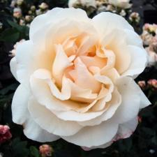 Роза Космос | Kosmos (Флорибунда)(осень 2020 г)