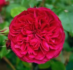 Роза Рэд Леонардо Да Винчи | Red Leonardo da Vinc (Флорибунда)(Осень 2021 г.)