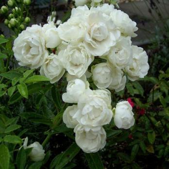 Роза Уайт Морсдаг | White Morsdag (полиантовая)