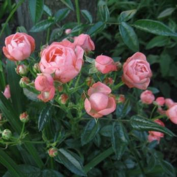 Роза Пинк Морсдаг | Pink Morsdag (полиантовая) (осень 2019 г.)