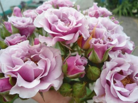 Роза Санта Барбара | Santa Barbara (чайно- гибридная)