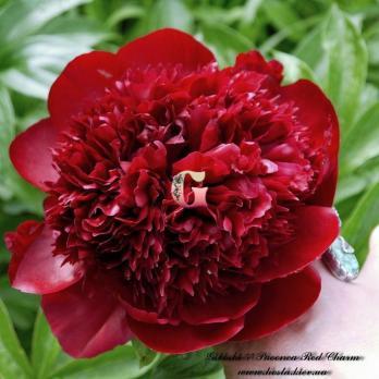 Пион Рэд Шарм | Red Charm (травянистый)