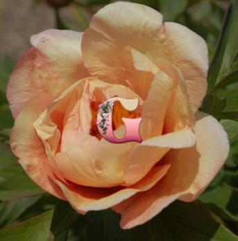 Пион Сонома Эприкот | Sonoma Apricot (ИТО)