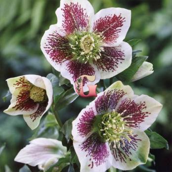 Морозник Уайт Споттид Гибридс  | White Spotted Hybrids