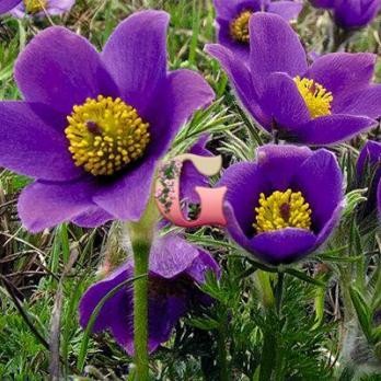 Прострел Виолет Беллс  | Violet Bells (2шт.)