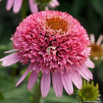 Эхинацея  Батерфляй Киcсес | Echinacea Butterfly Kisses
