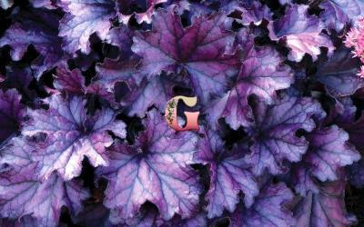 Гейхера Форевер Пёпл | Forever Purple