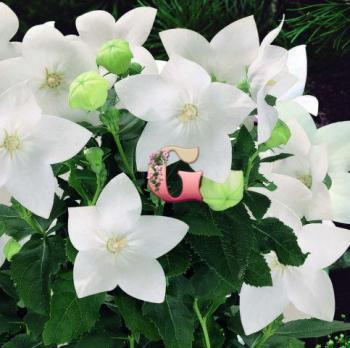 Платикодон Крупноцветковый Белый | Platycodon grandiflorus Album White (3 шт)