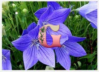 Платикодон крупноцветковый Голубой | Platycodon grandiflorus Mariesii Blue (3 шт)