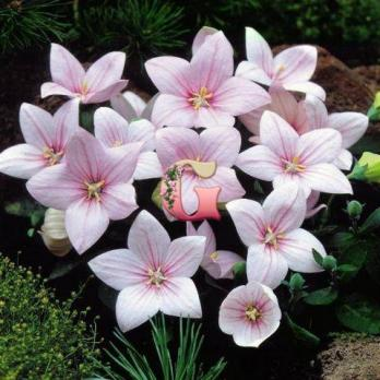 Платикодон крупноцветковый Розовый | Platycodon grandiflorus Shell Pink (3 шт)