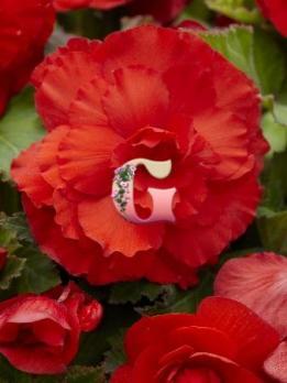 Бегония Суперба Ярко-Красная | Superba Csarlet (5 шт)