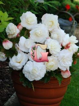 Бегония Суперба Белая | Superba White ( 5 шт)