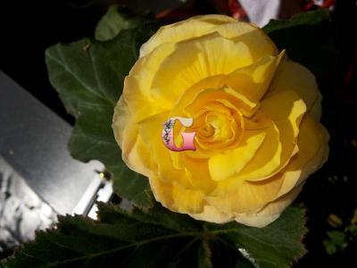 Бегония Суперба Жёлтая | Superba Yellow (5 шт)