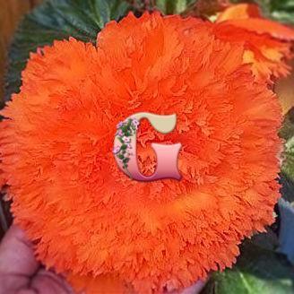 Бегония Бахромчатая Оранжевая | Оrange (5 шт)