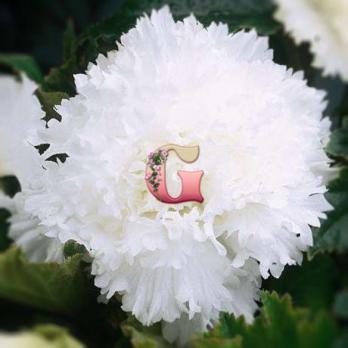 Бегония Бахромчатая Белая | White (5 шт)