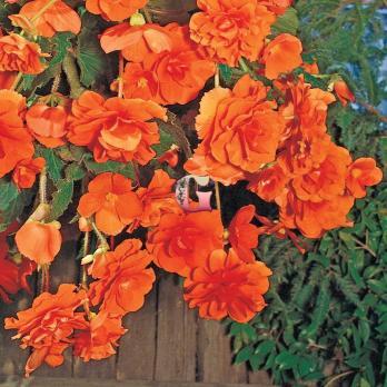 Бегония Каскад Пендула Оранжевая | Orange (5 шт)