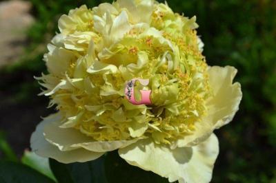 Пион Квитцин | Quitzin (травянистый)