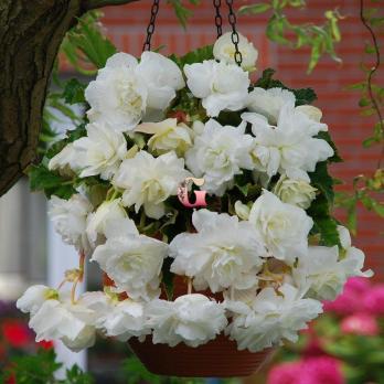 Бегония Каскад Пендула Белая | White (5 шт)